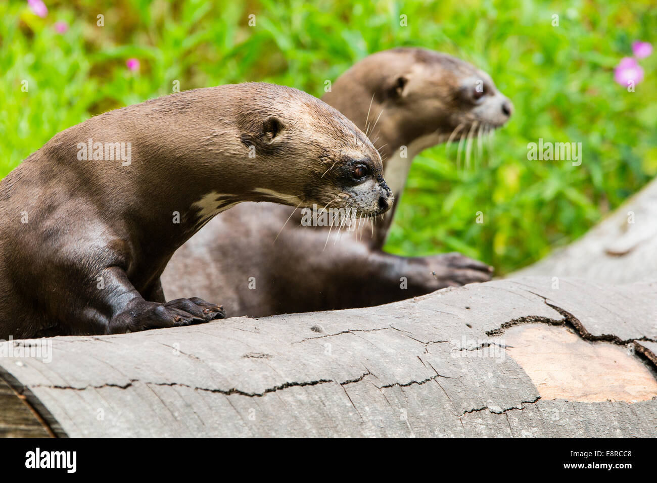 Two Giant Otters in a wildlife park in the New Forest, Hampshire Stock Photo