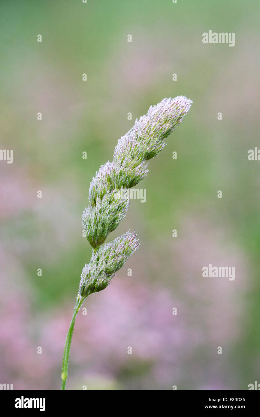 Dewdrops on a flowering meadow grass. - Stock Image