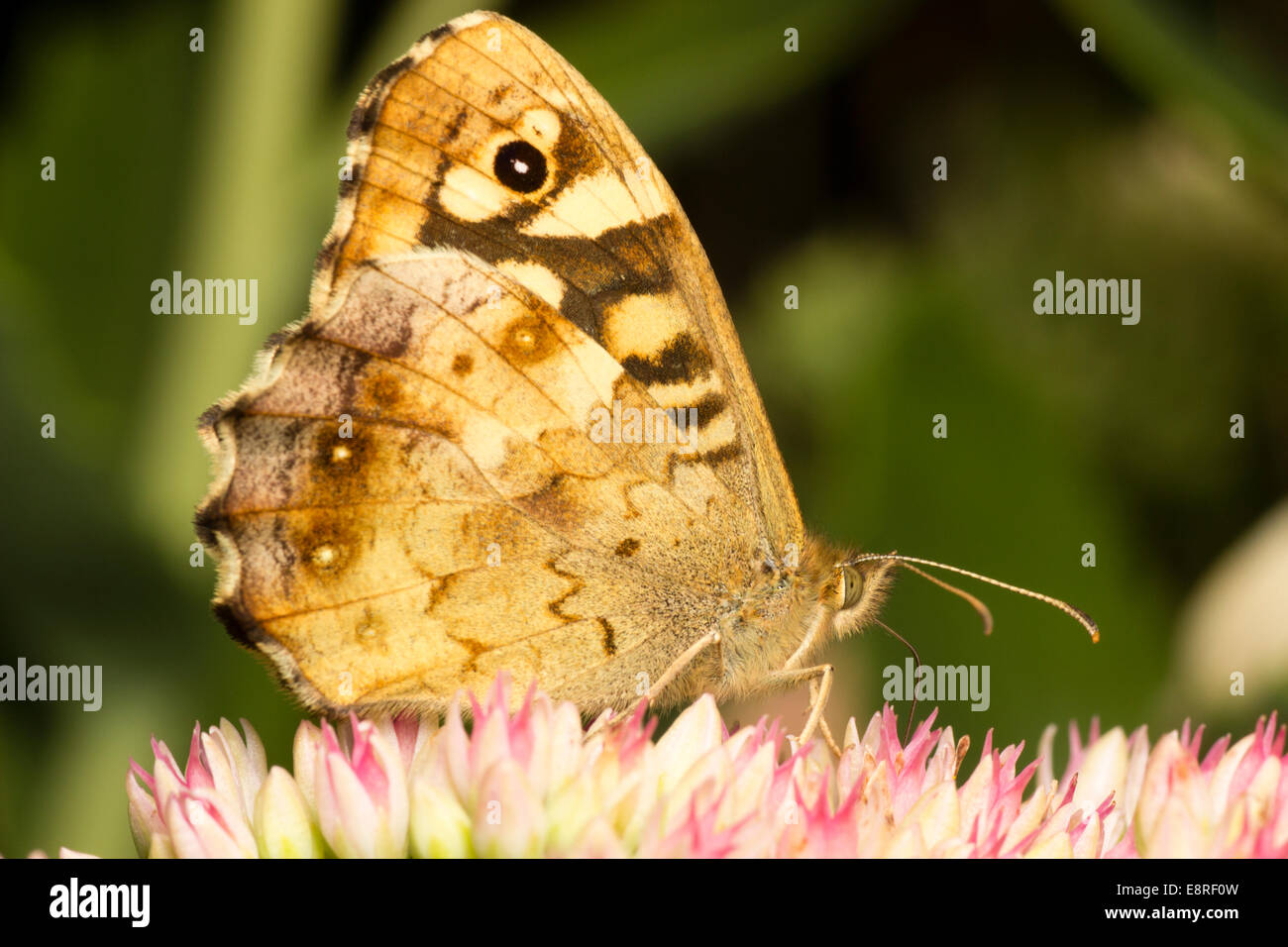 Adult female Speckled Wood butterfly, Pararge aegeria, feeding on nectar of Sedum spectabile in a Plymouth garden. - Stock Image