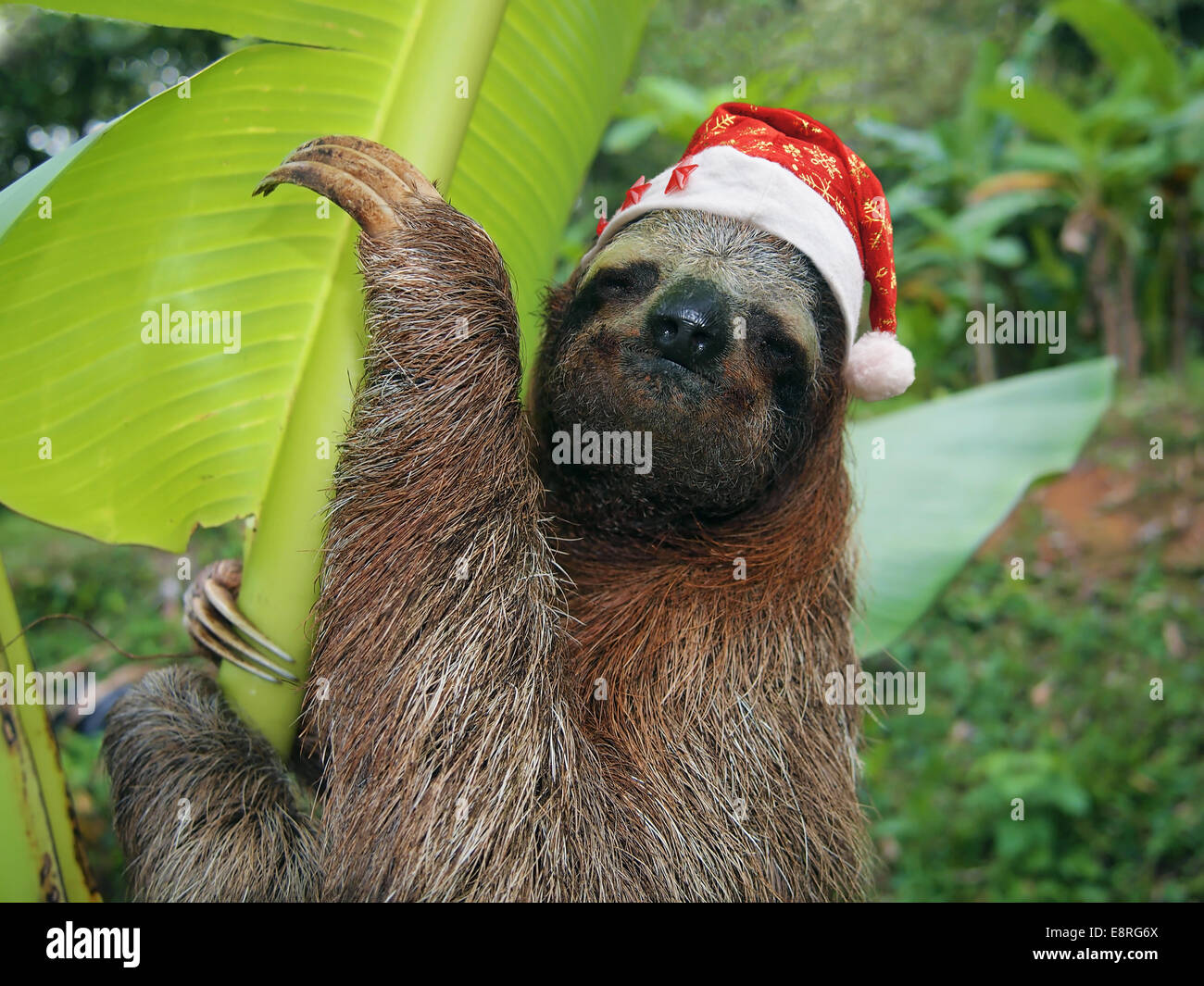Christmas animal, portrait of a sloth wearing a santa hat, Costa Rica - Stock Image