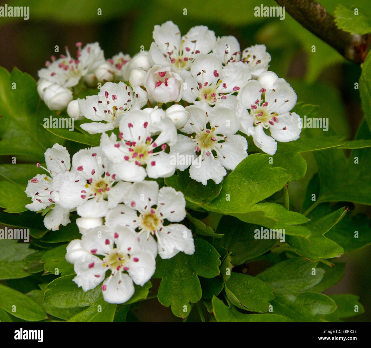 Cluster of perfumed white flowers and emerald leaves of common stock cluster of perfumed white flowers and emerald leaves of common hawthorn crataegus monogyna may tree in english hedgerow mightylinksfo Choice Image