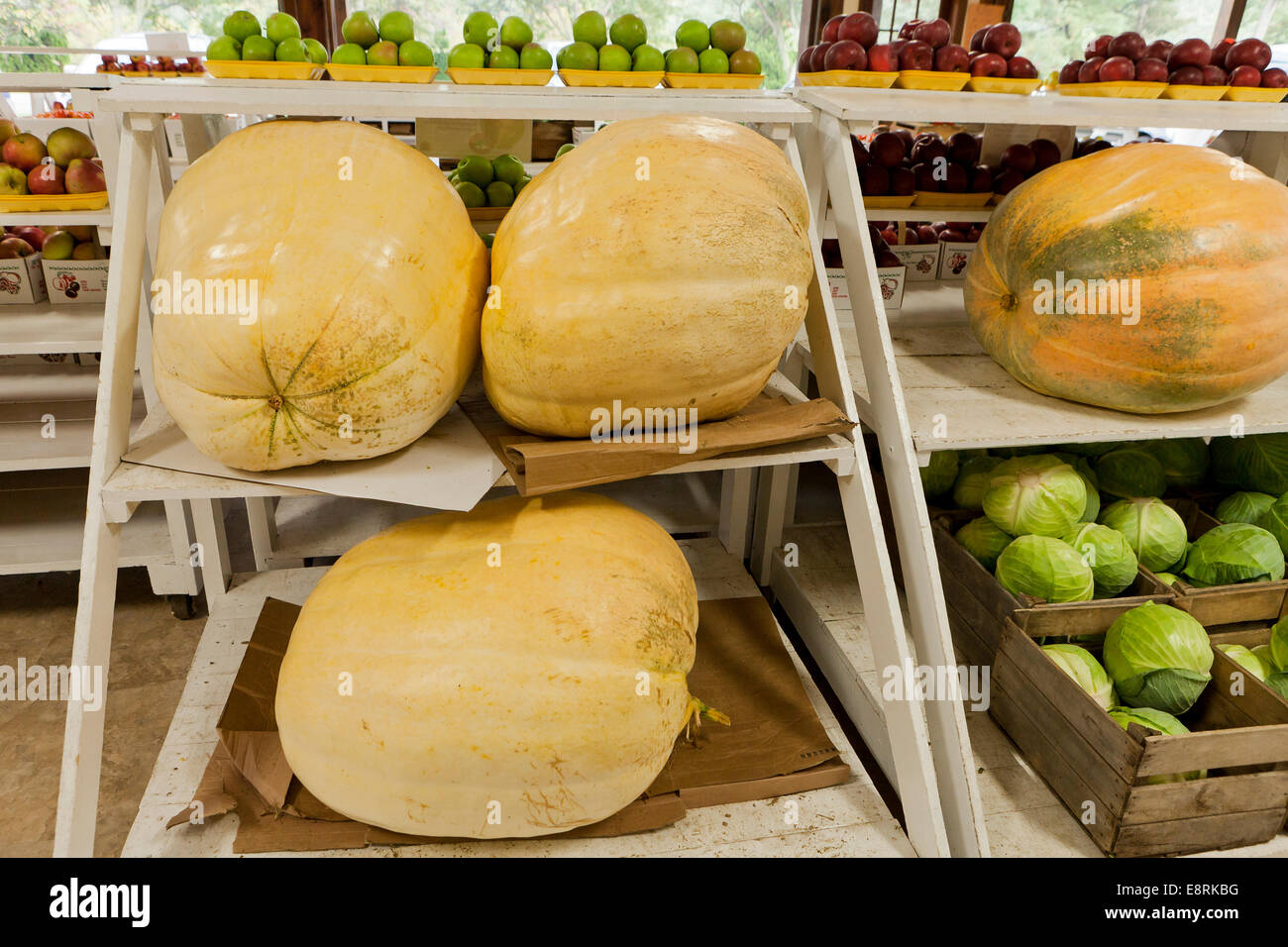 Giant pumpkins at farmers market - Pennsylvania USA - Stock Image