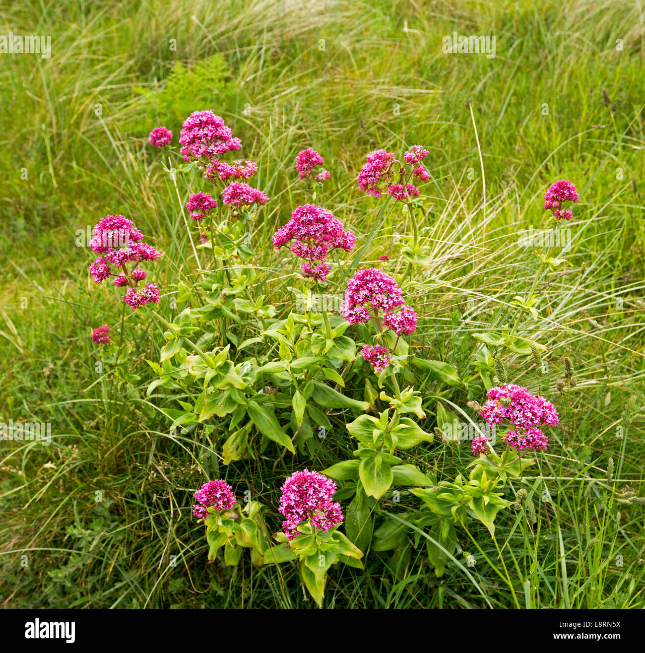 Bright red pink wildflowers centranthus ruber valerian growing bright red pink wildflowers centranthus ruber valerian growing among grass on sand dunes beside beach at port eynon wales mightylinksfo
