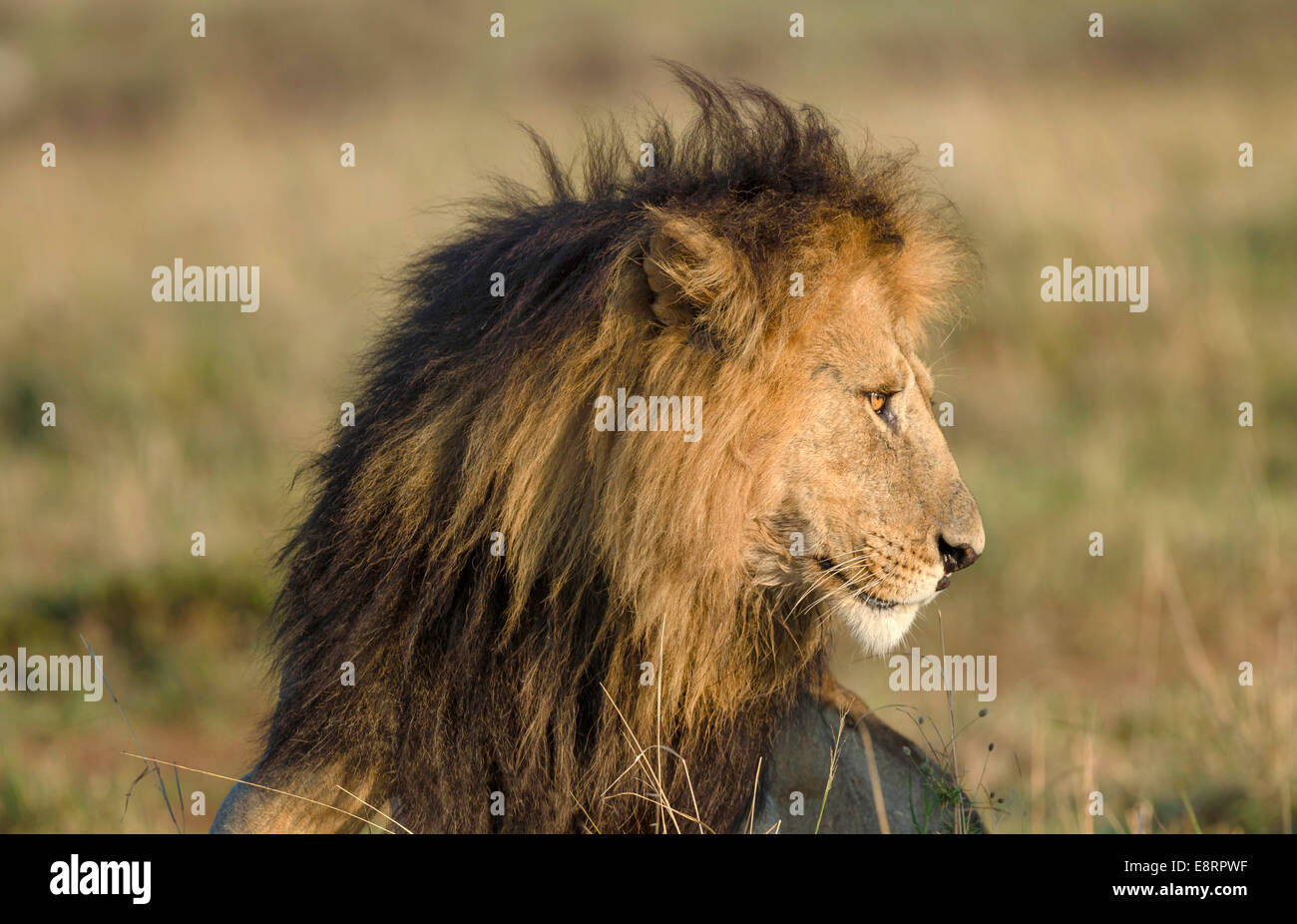 Head shot of male lion looking longingly to the left. - Stock Image