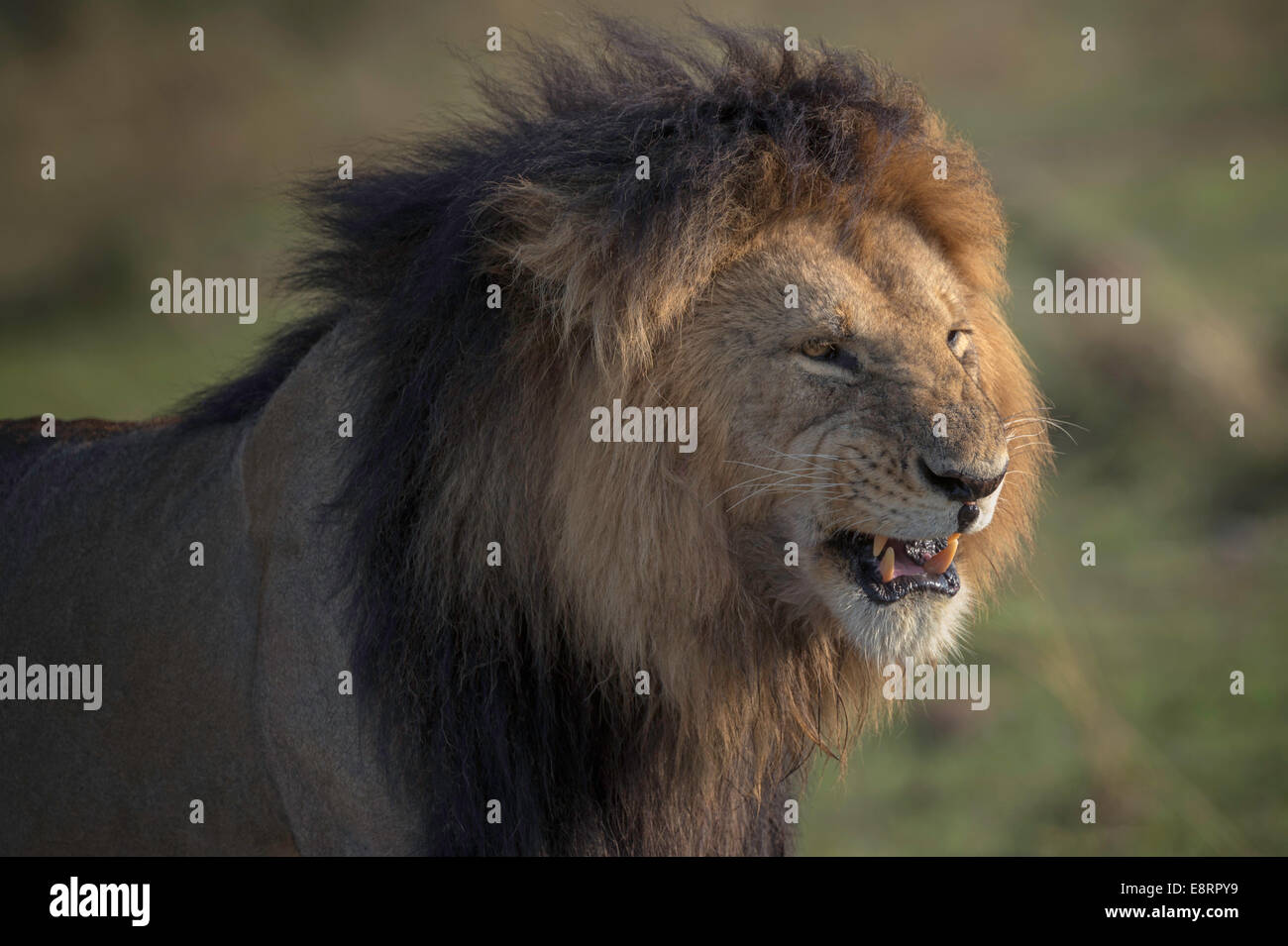 Black-maned lion snarling in close-up - Stock Image