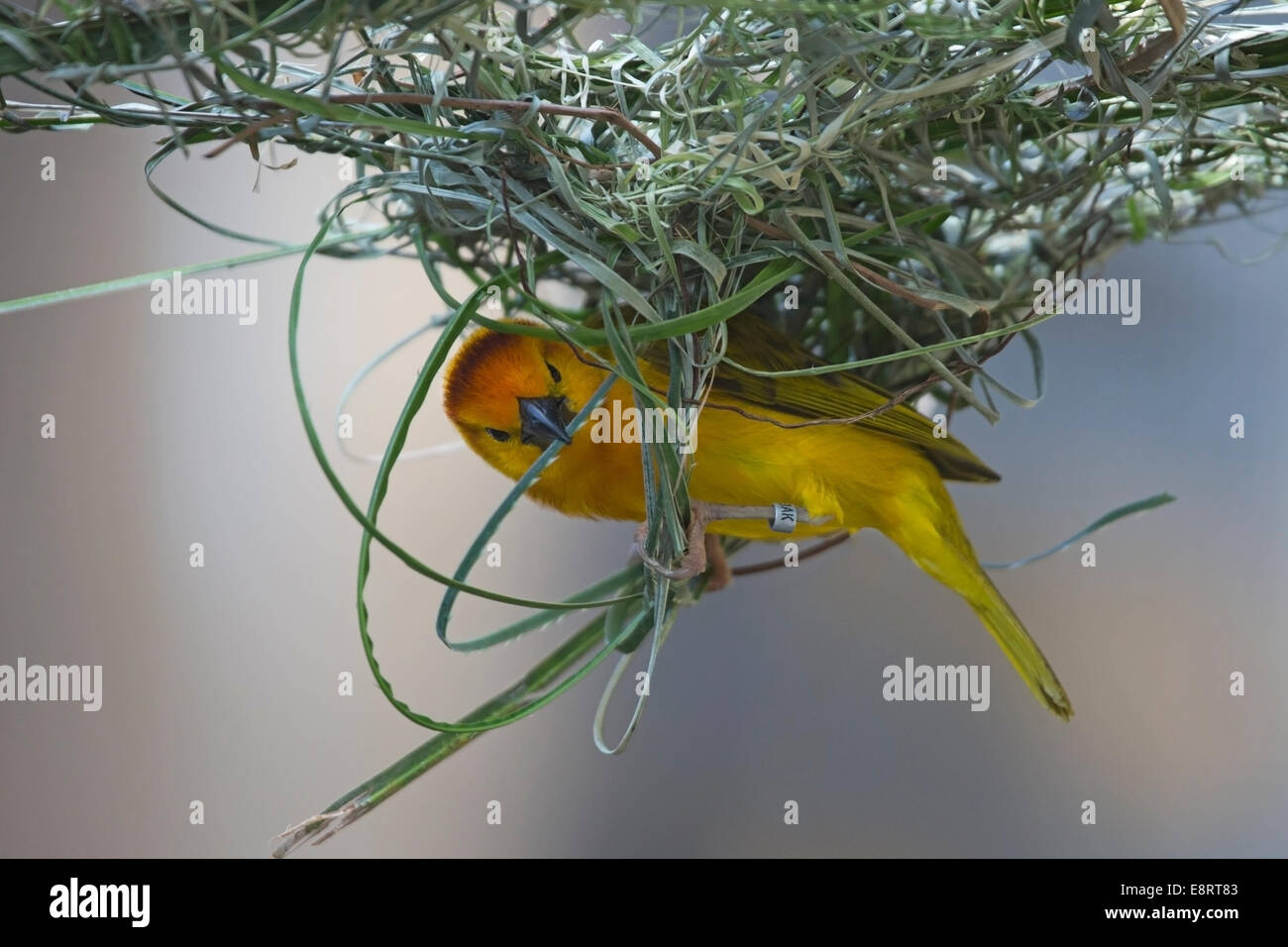 Taveta Golden Weaver (Ploceus castaneiceps) weaving nest - Stock Image