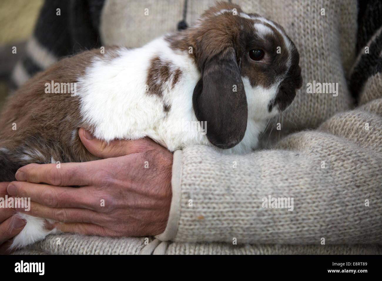 Man cuddling pet Holland Lop rabbit. - Stock Image