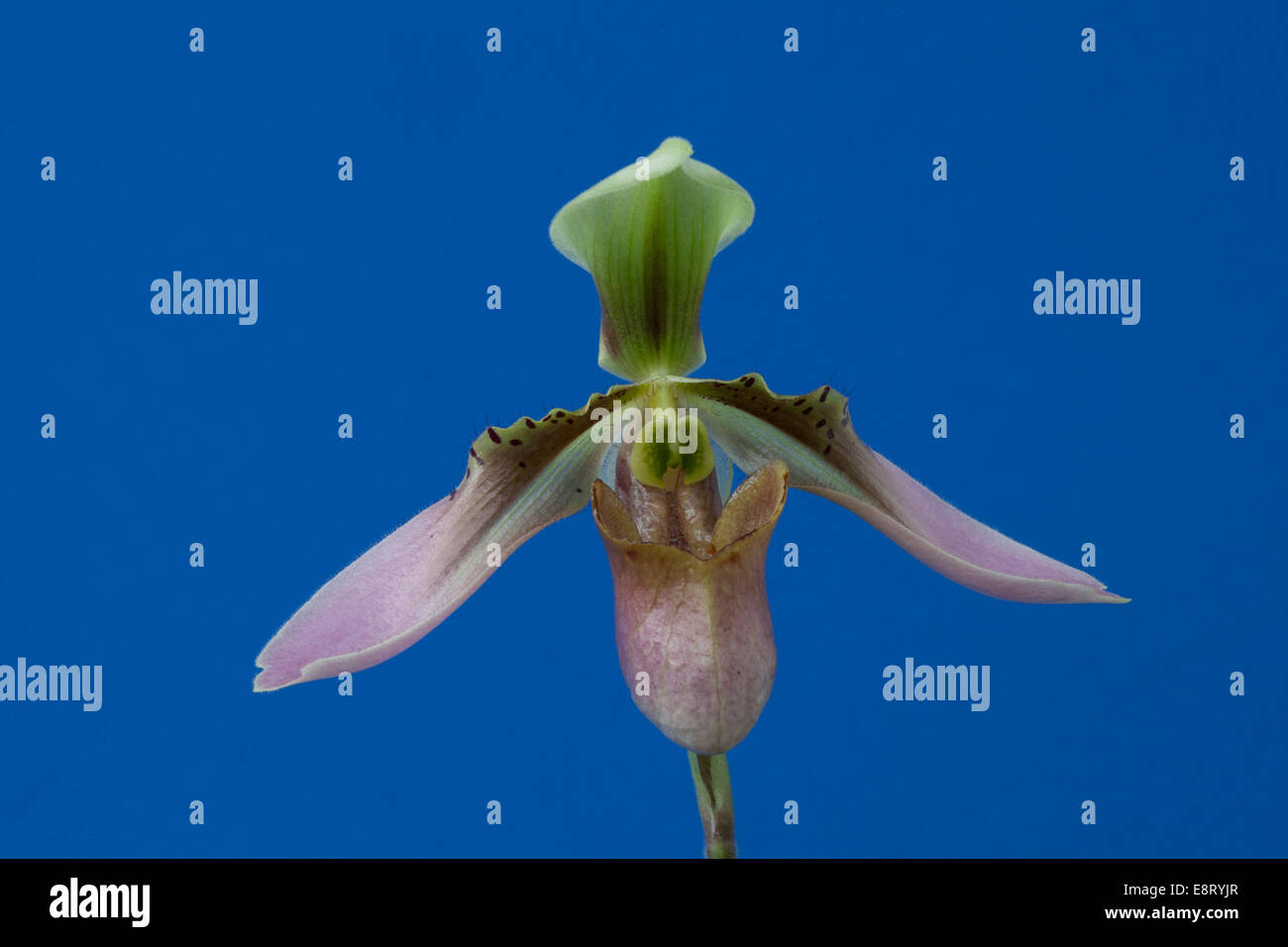 Orchid flower - Stock Image