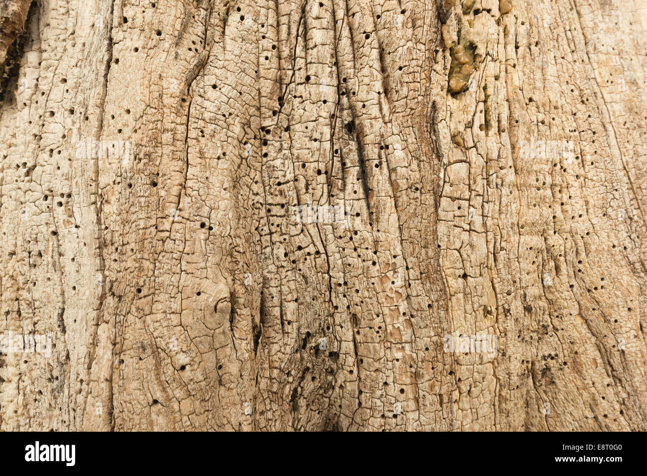interesting patterns swirls lines and texture in trunk of mature horse chestnut tree showing insect woodworm exit - Stock Image