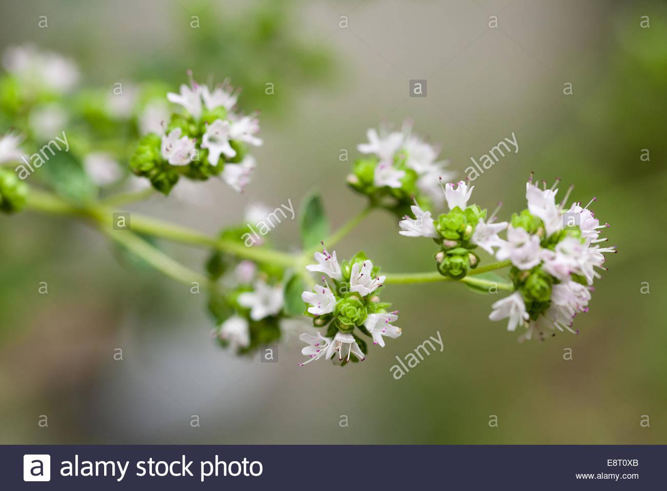 Fresh white flowers on an oregano plant stock photo 74286307 alamy fresh white flowers on an oregano plant mightylinksfo
