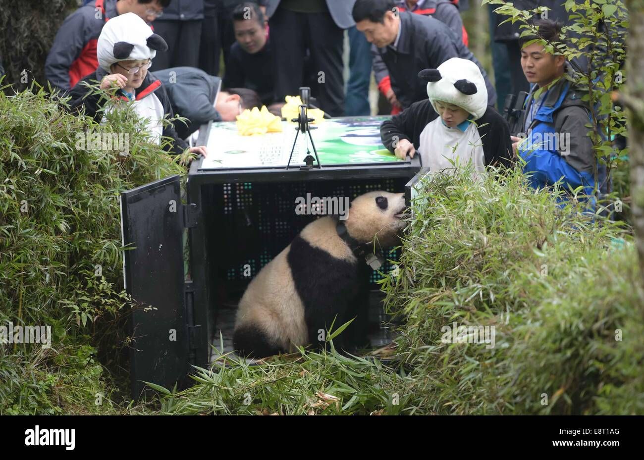 Shimian, China's Sichuan Province. 14th Oct, 2014. Giant panda Xue Xue is released into the wild at the Liziping - Stock Image