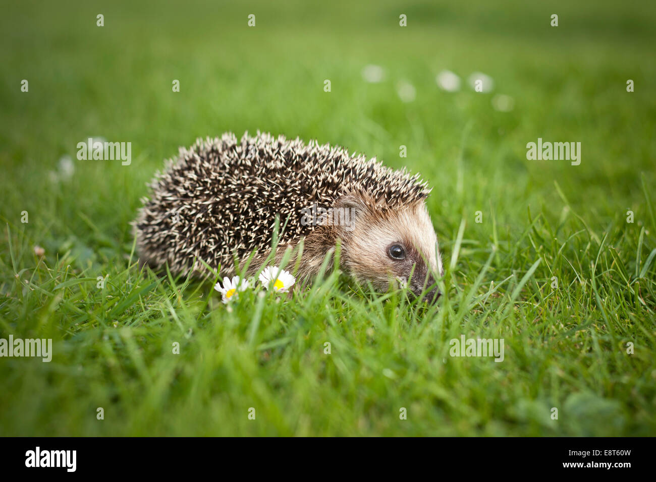 Young hedgehog (Erinaceus europaeus) in a meadow - Stock Image