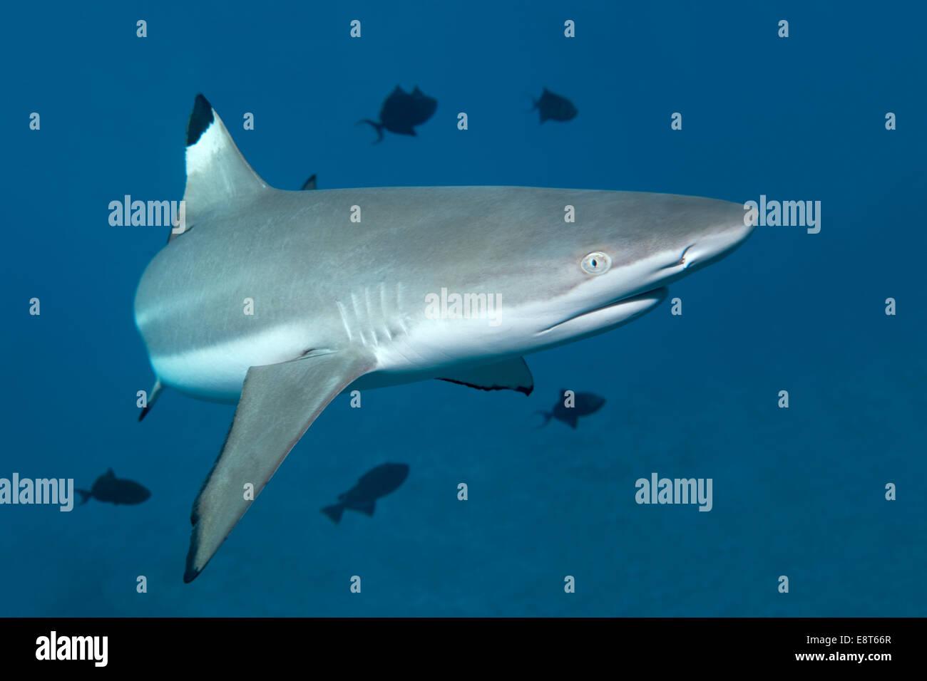 Blacktip Reef Shark (Carcharhinus melanopterus), with Niger Trigger Fish (Odonus niger), UNESCO World Heritage Site Stock Photo