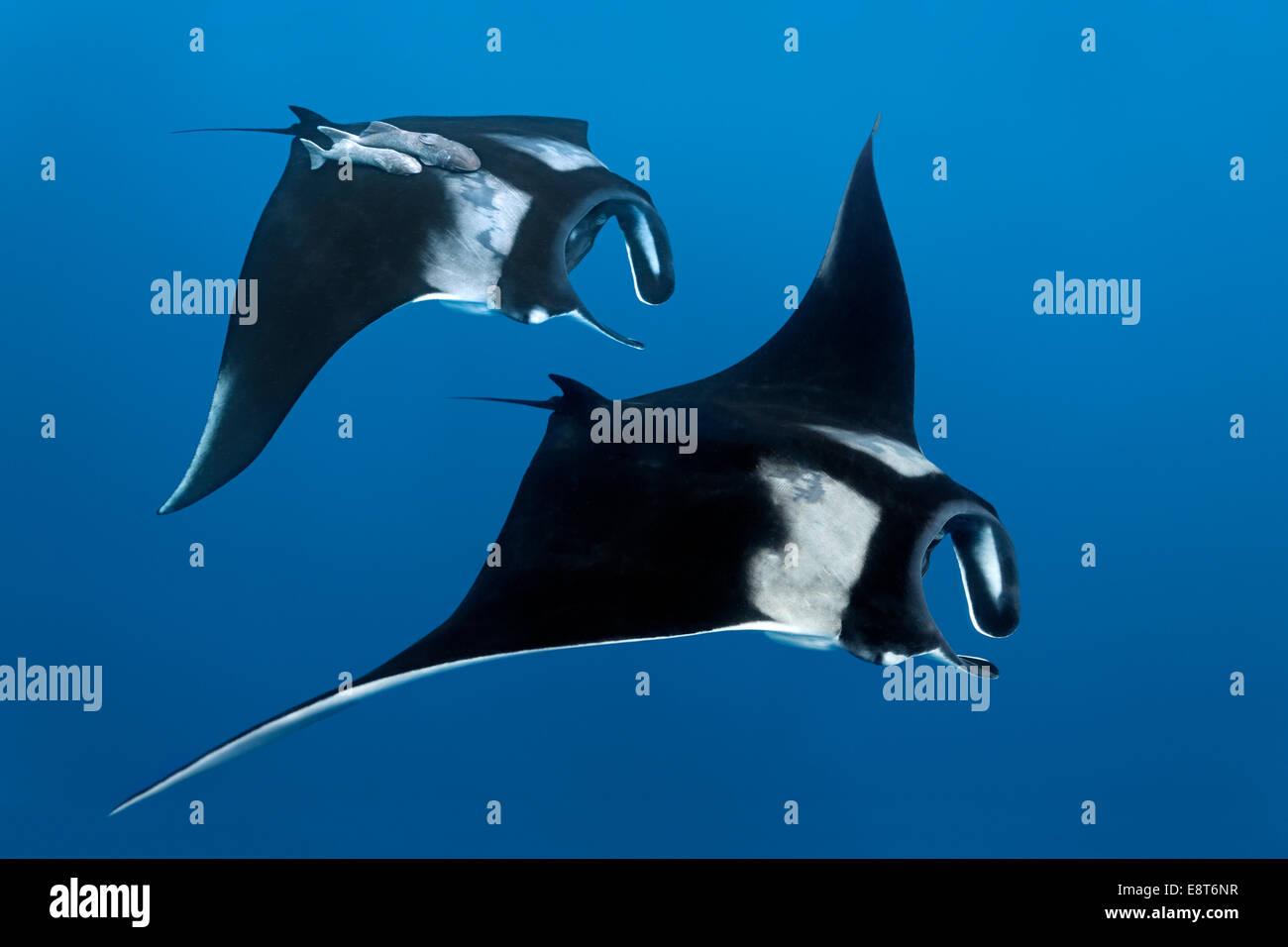 Two Reef manta rays (Manta alfredi), Cocos Island, Costa Rica, Pacific - Stock Image