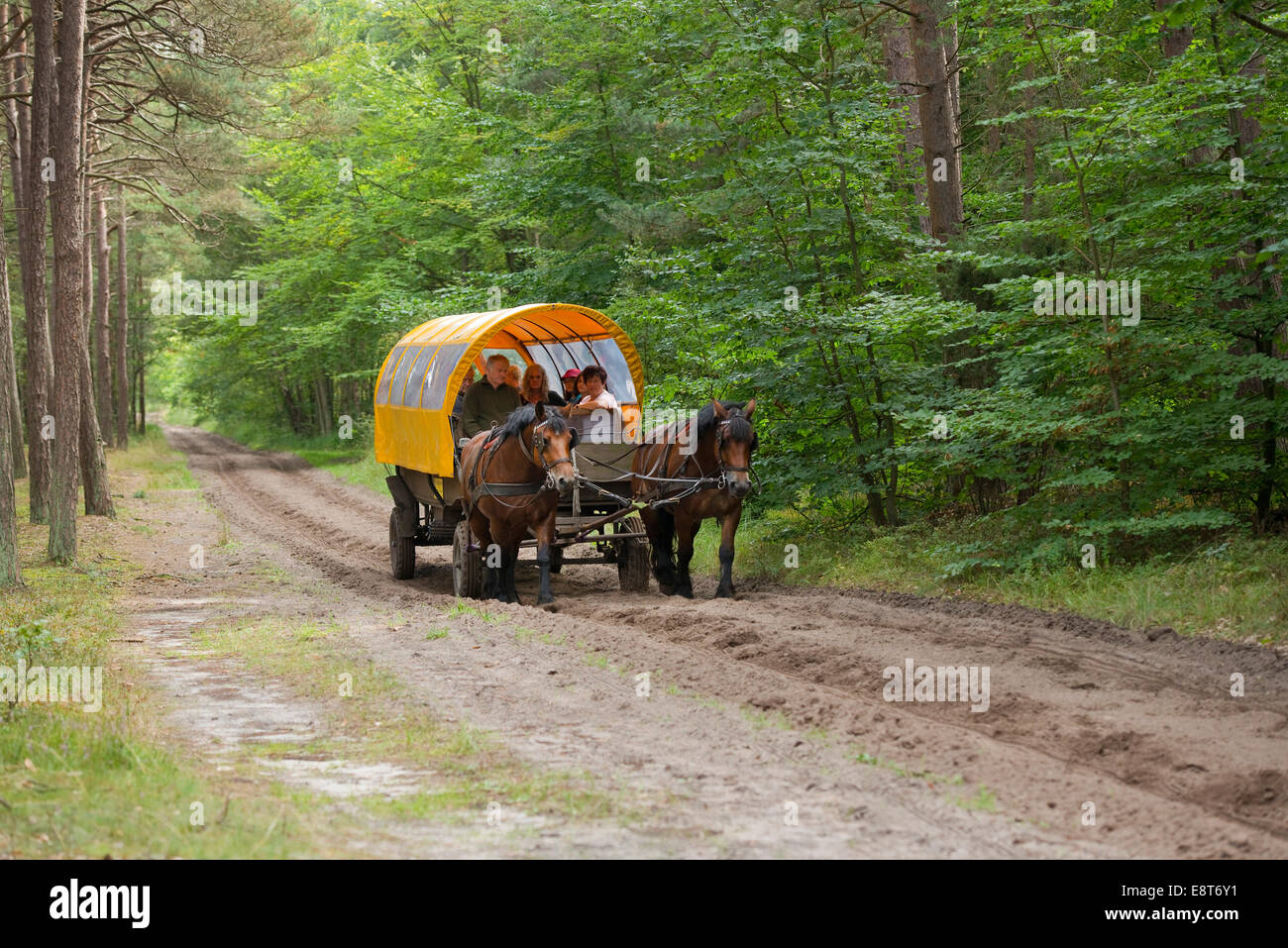 Horse-drawn carriage with passengers in a forest, Darß, Bodden Landscape of Vorpommern National Park - Stock Image