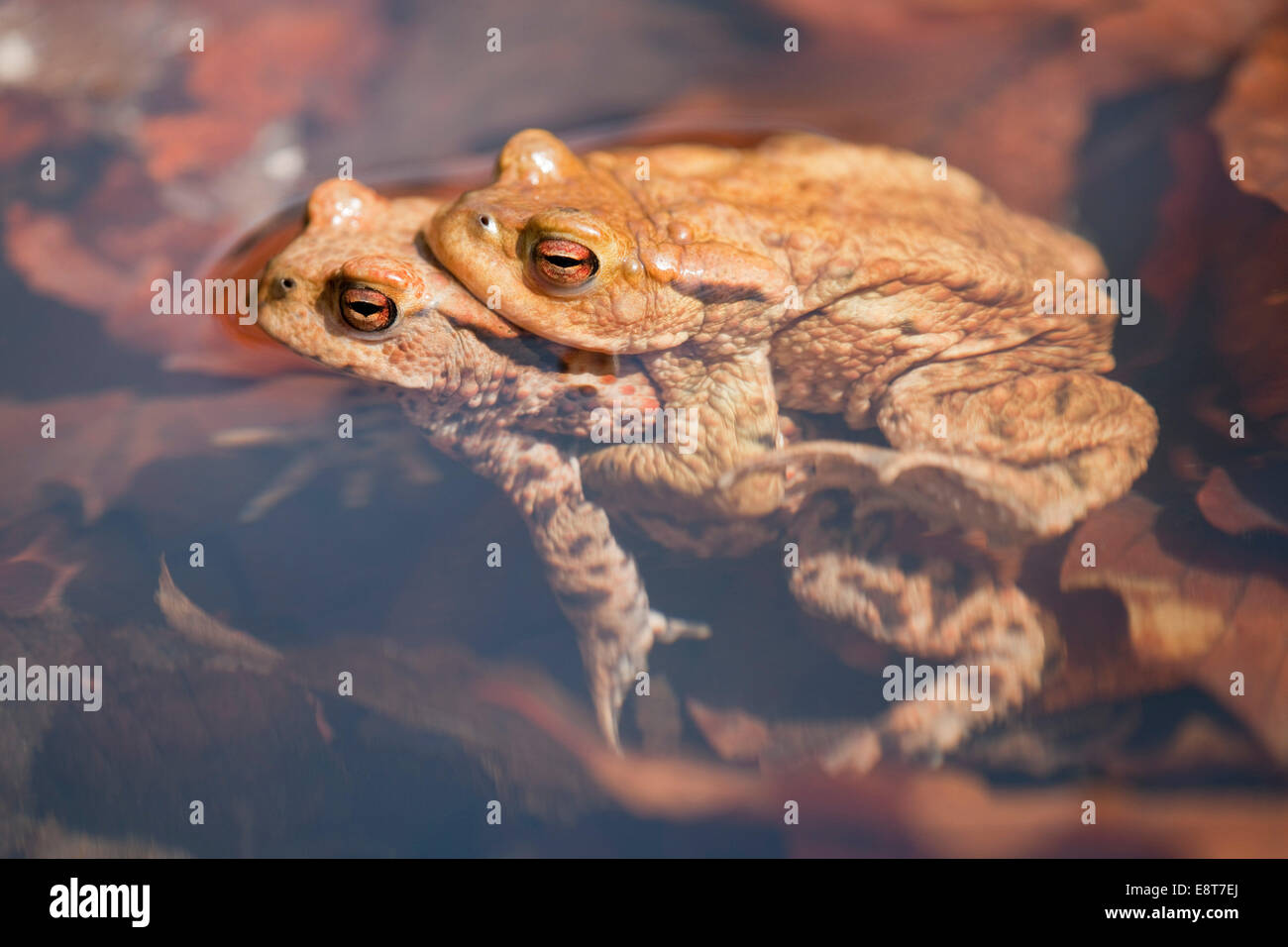 Common Toads (Bufo bufo), mating, male clasping a female, amplexus, Thuringia, Germany - Stock Image