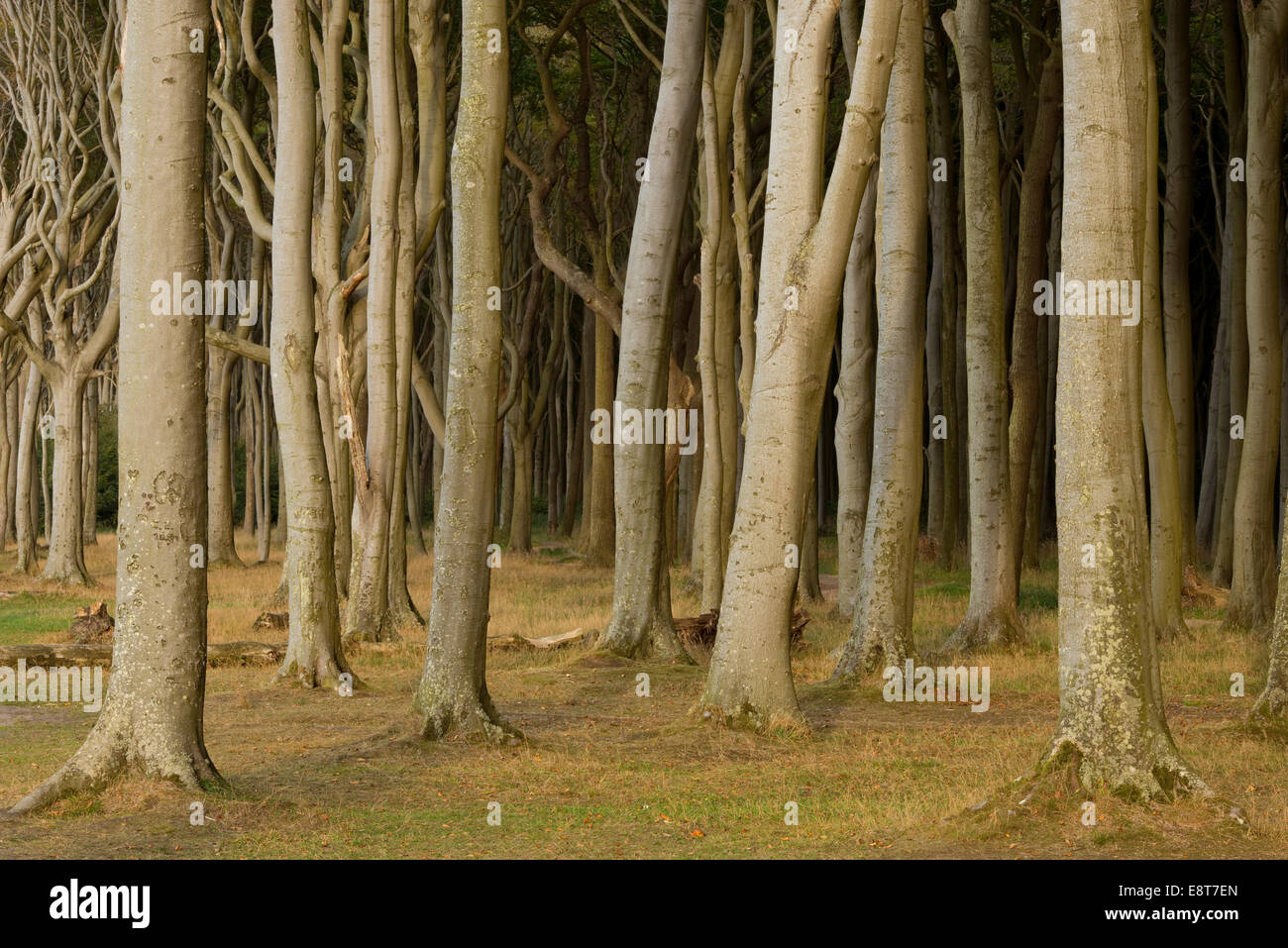 Ghost Forest, beech forest, European Beech or Common Beech trees (Fagus sylvatica), Nienhagen, Mecklenburg-Western - Stock Image