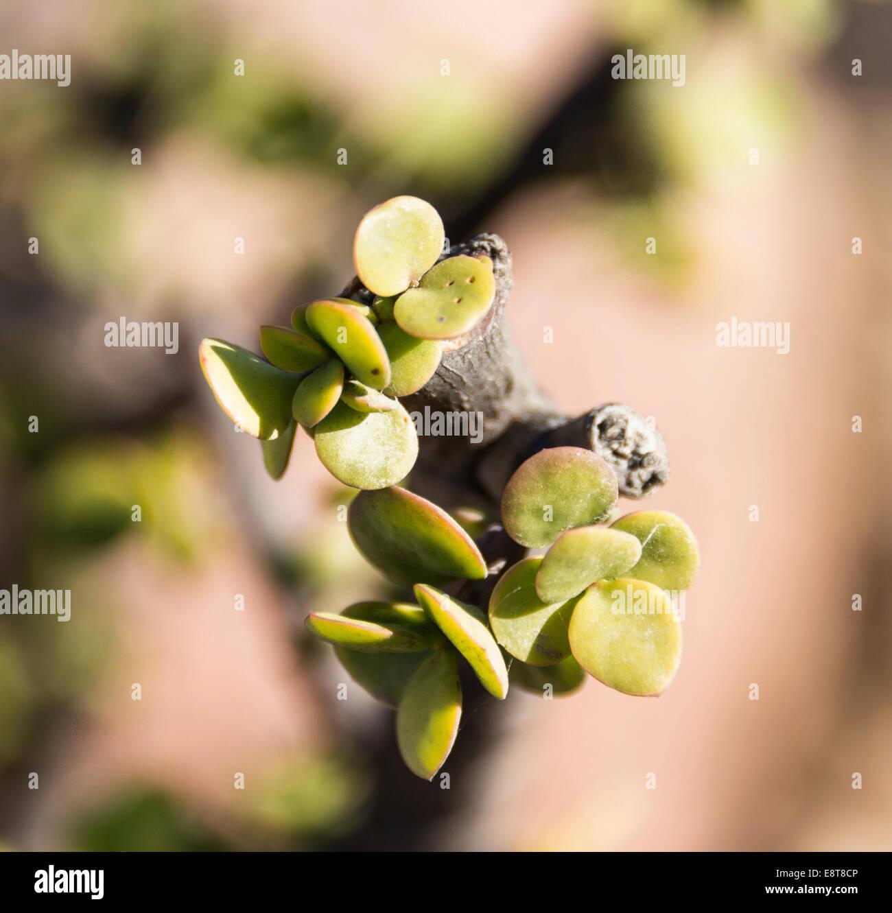 Dollar Plant (Zygophyllum stapfii), Namibia - Stock Image