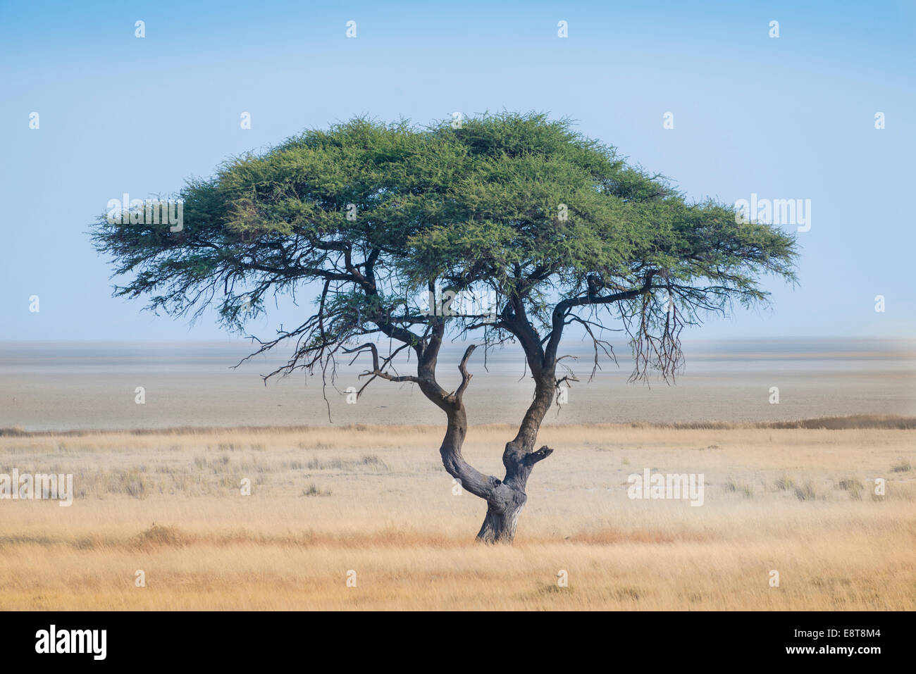 Umbrella Thorn Acacia Tortilis Tree In Front Of The Etosha Pan