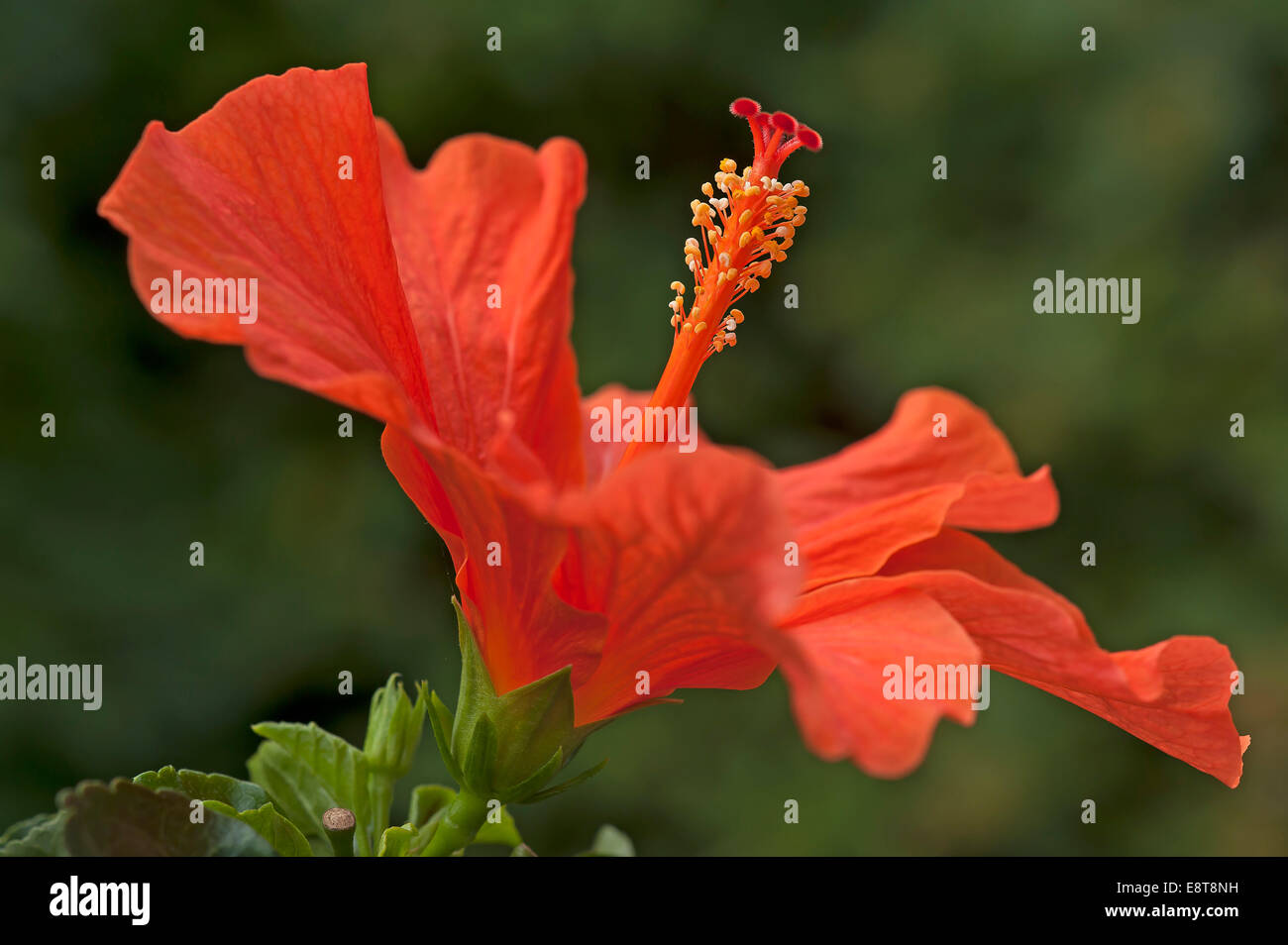 Side View Red Hibiscus Flower Stock Photos Side View Red Hibiscus