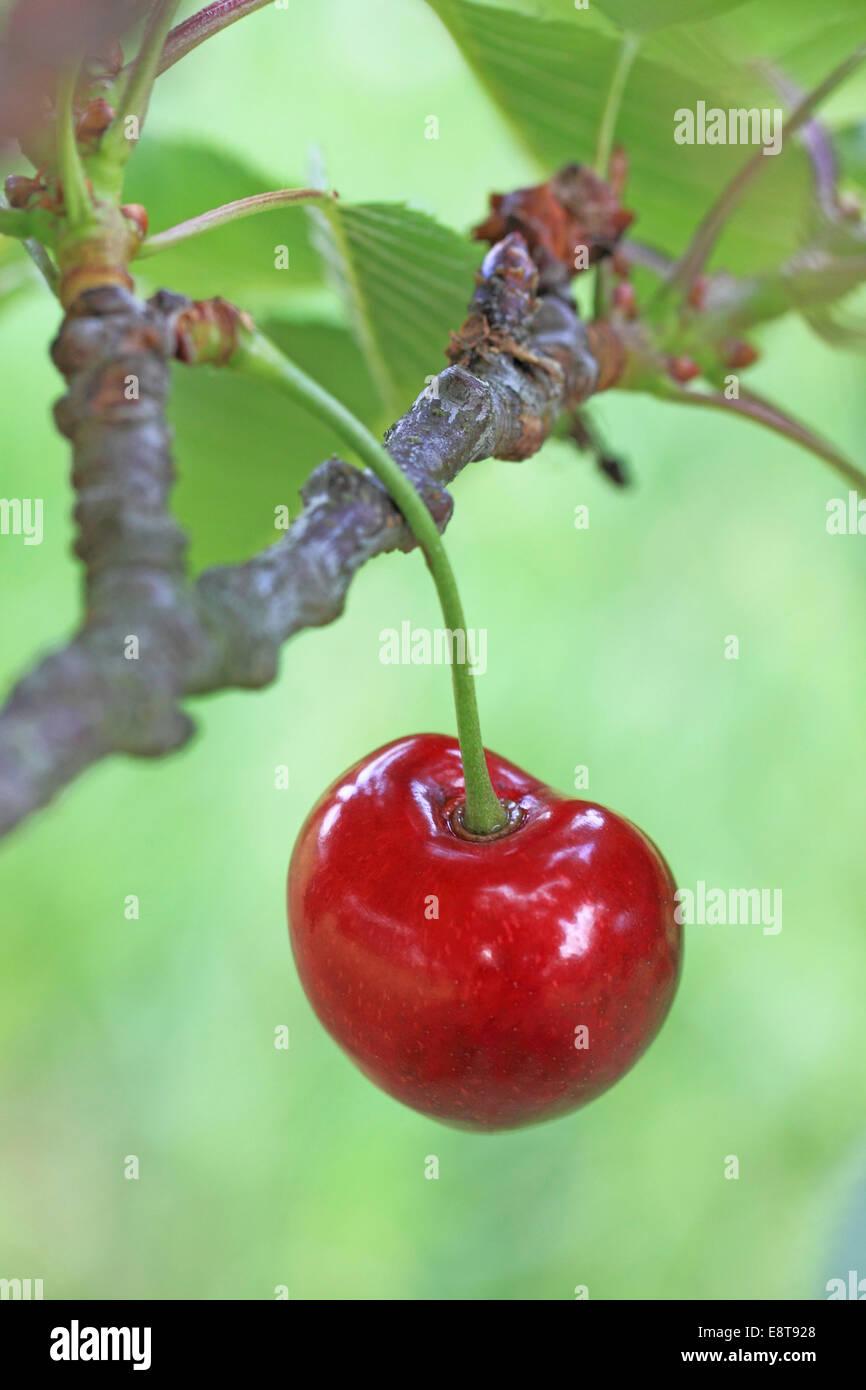 Sweet cherry on the twig, Schneiders Späte Knorpelkirsche variety - Stock Image
