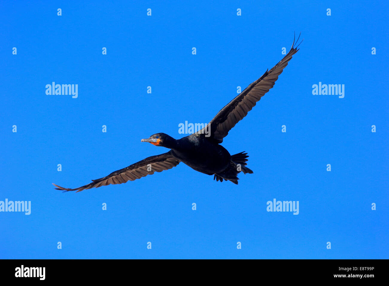 Cape Cormorant (Phalacrocorax capensis), in flight, Betty's Bay, Western Cape, South Africa - Stock Image