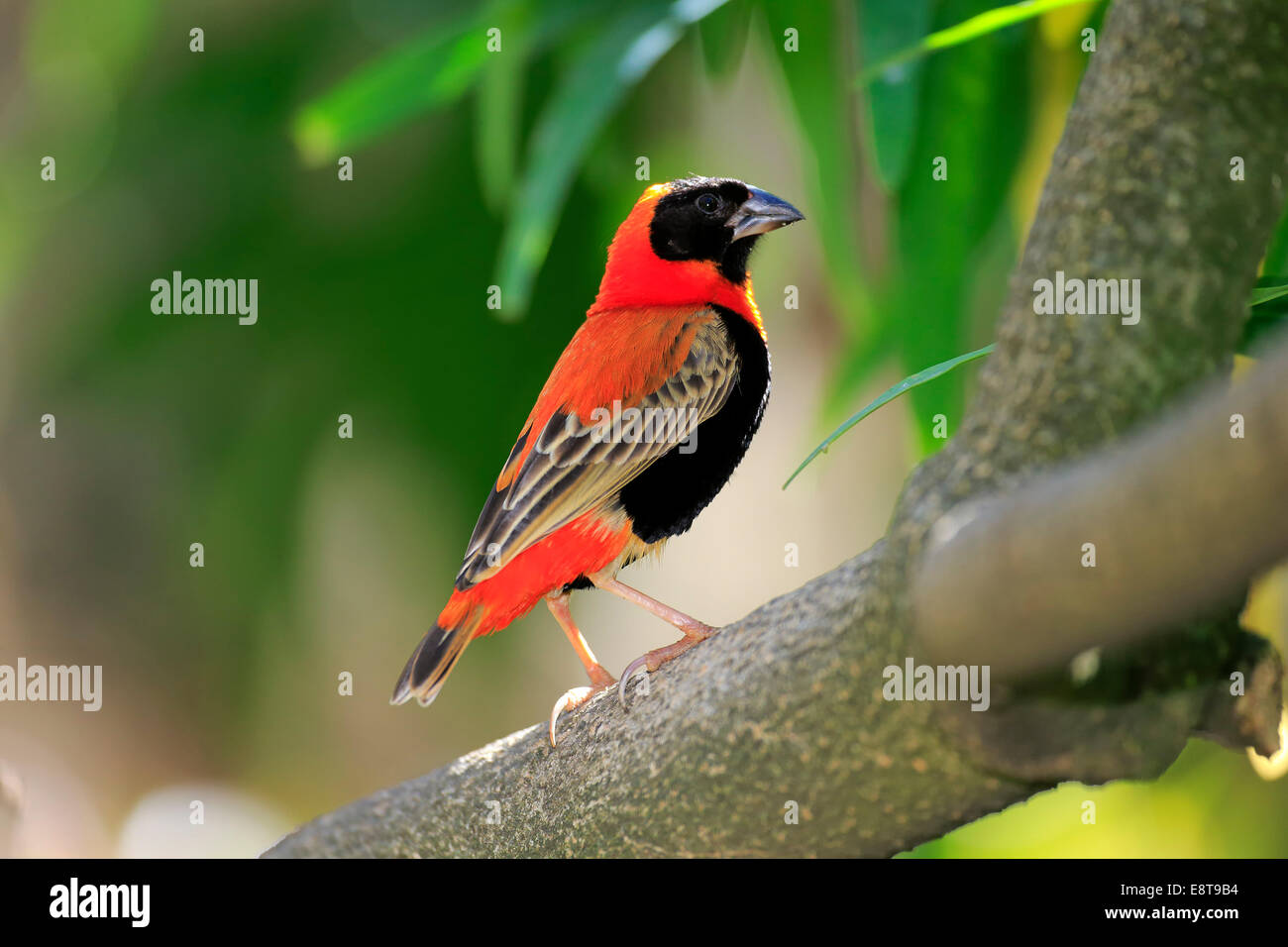 Southern Red Bishop (Euplectes orix), adult perched on tree, Western Cape, South Africa - Stock Image