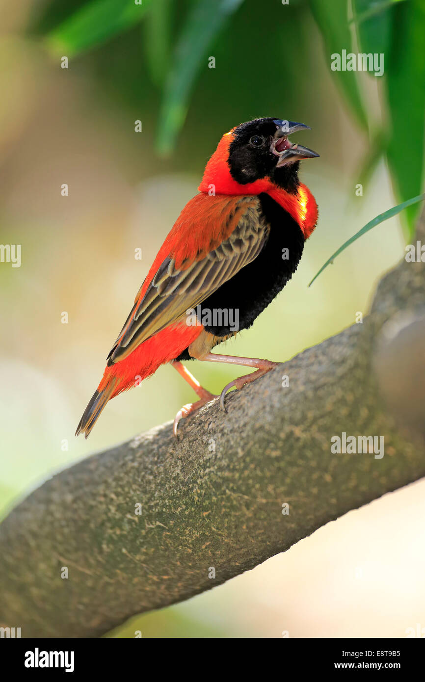 Southern Red Bishop (Euplectes orix), adult perched on tree, singing, Western Cape, South Africa - Stock Image
