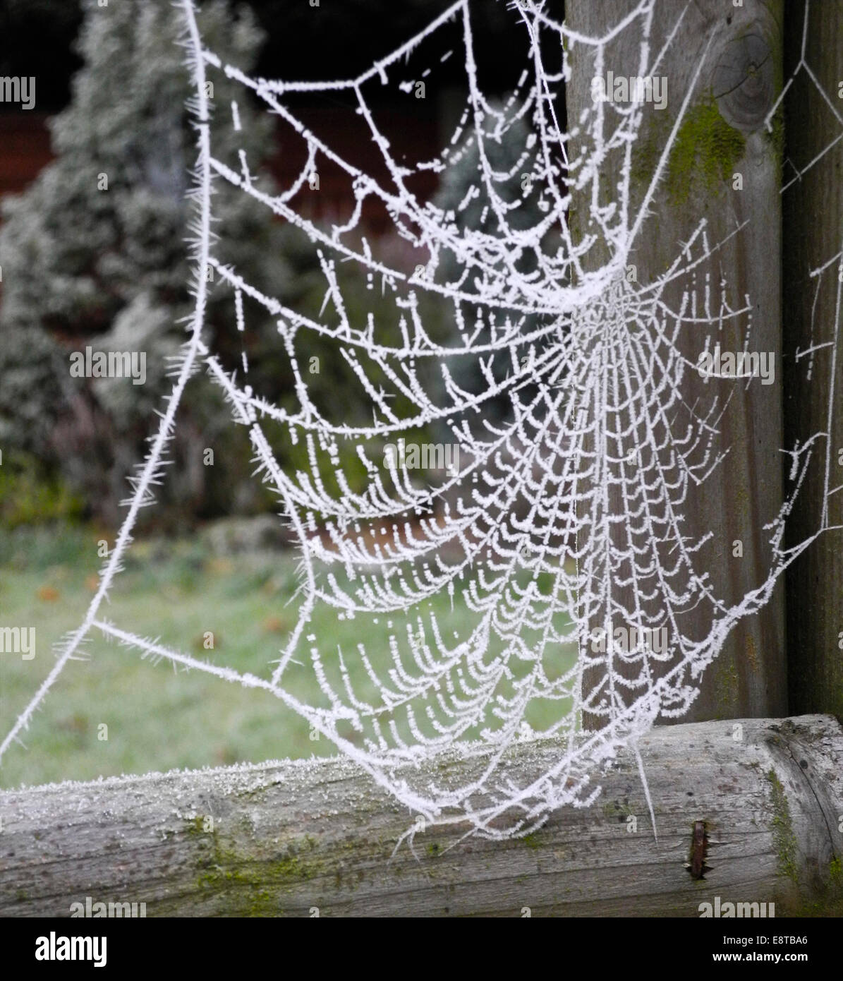 Cobweb cobwebs spiders webs web spider winter frost - Stock Image