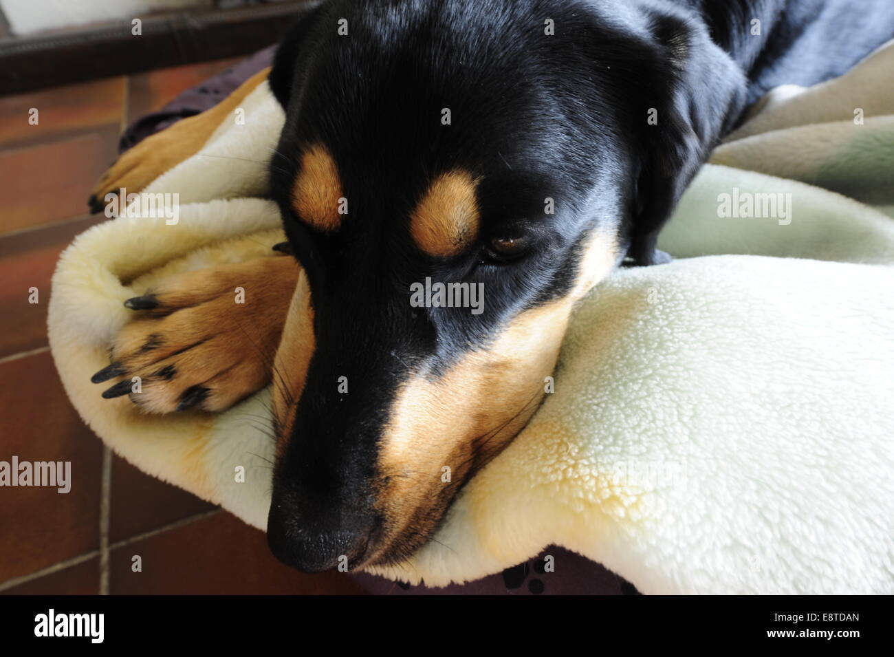 A black and tan dog lying on bed - Stock Image