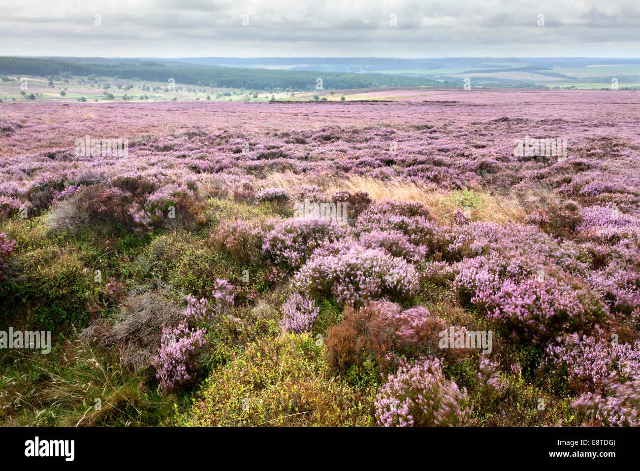 Heather Moorland from Stony Marl Howes Fylingdales Moor North York Moors Yorkshire England - Stock Image