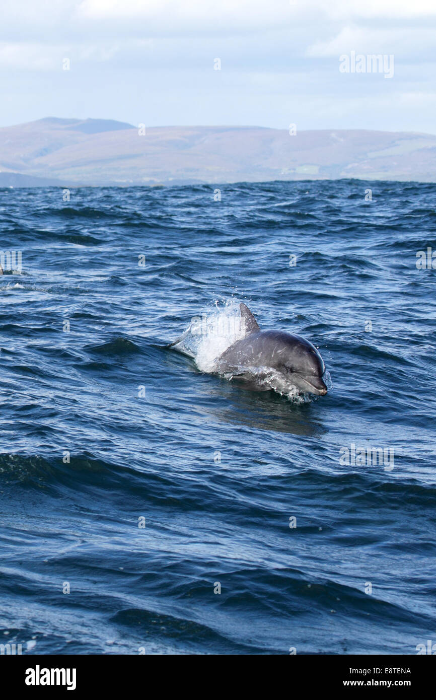 Indo-Pacific Bottlenose Dolphin (Tursiops aduncus) swimming in the ocean near Dyer Island before the coast from - Stock Image