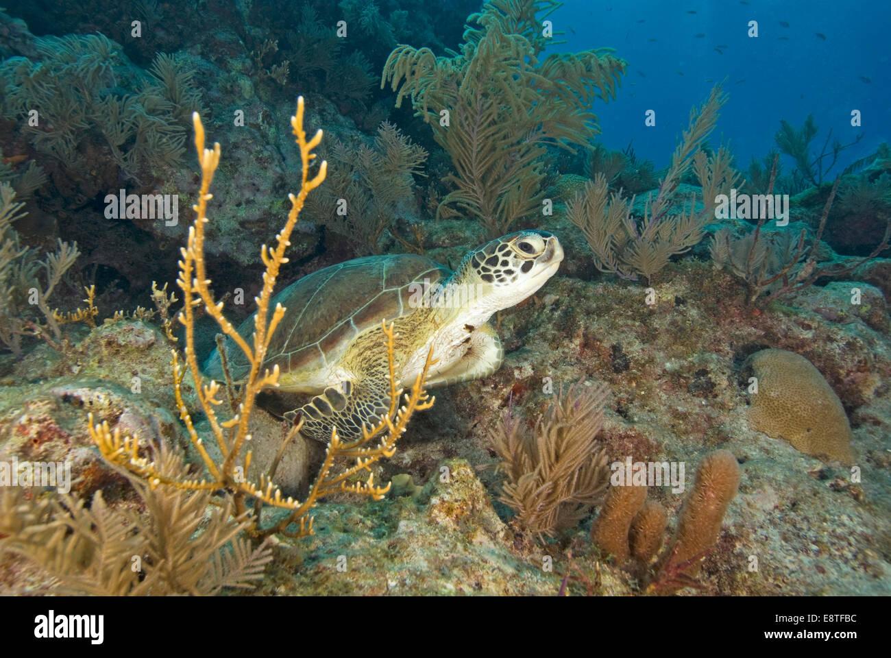 Underwater sea turtle at Key largo coral reef Stock Photo
