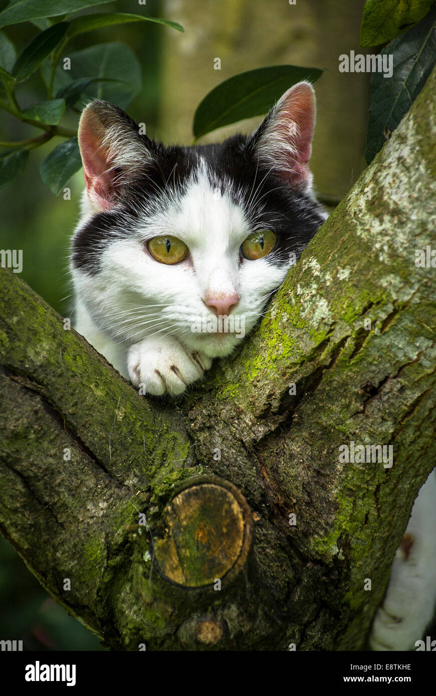 Black and white country cat stalking prey in a tree - Stock Image