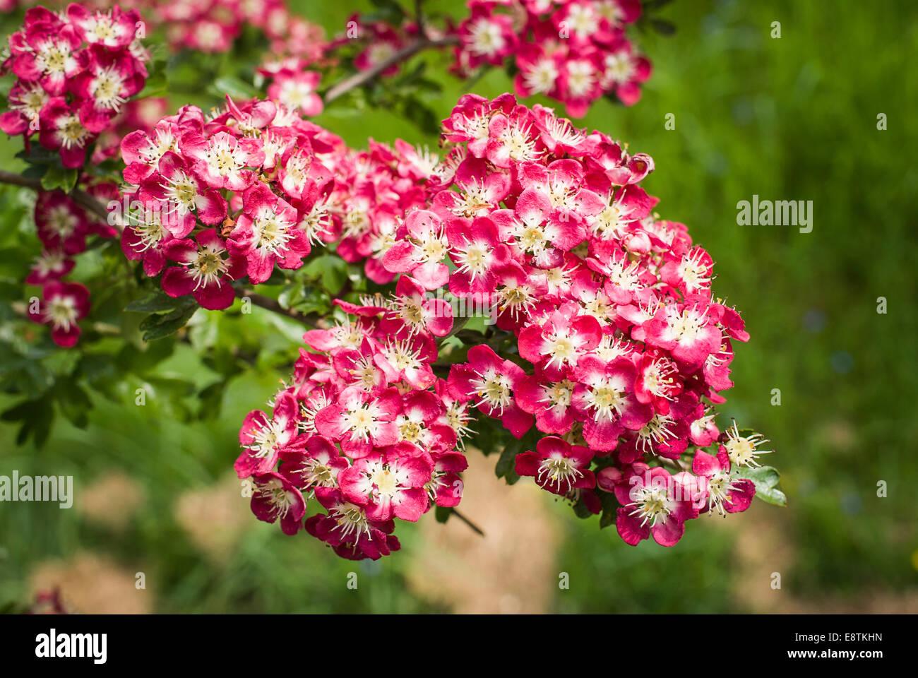 Flowering blossom on an ornamental hawthorn tree - Stock Image