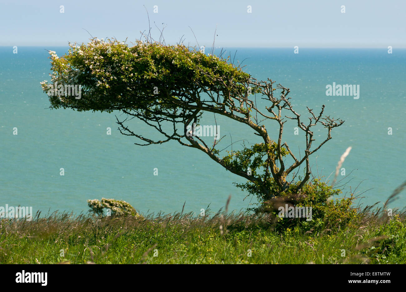 A Hawthorn tree bent in the direction of the prevailing wind on the cliff top at Eastbourne against a sea and sky - Stock Image