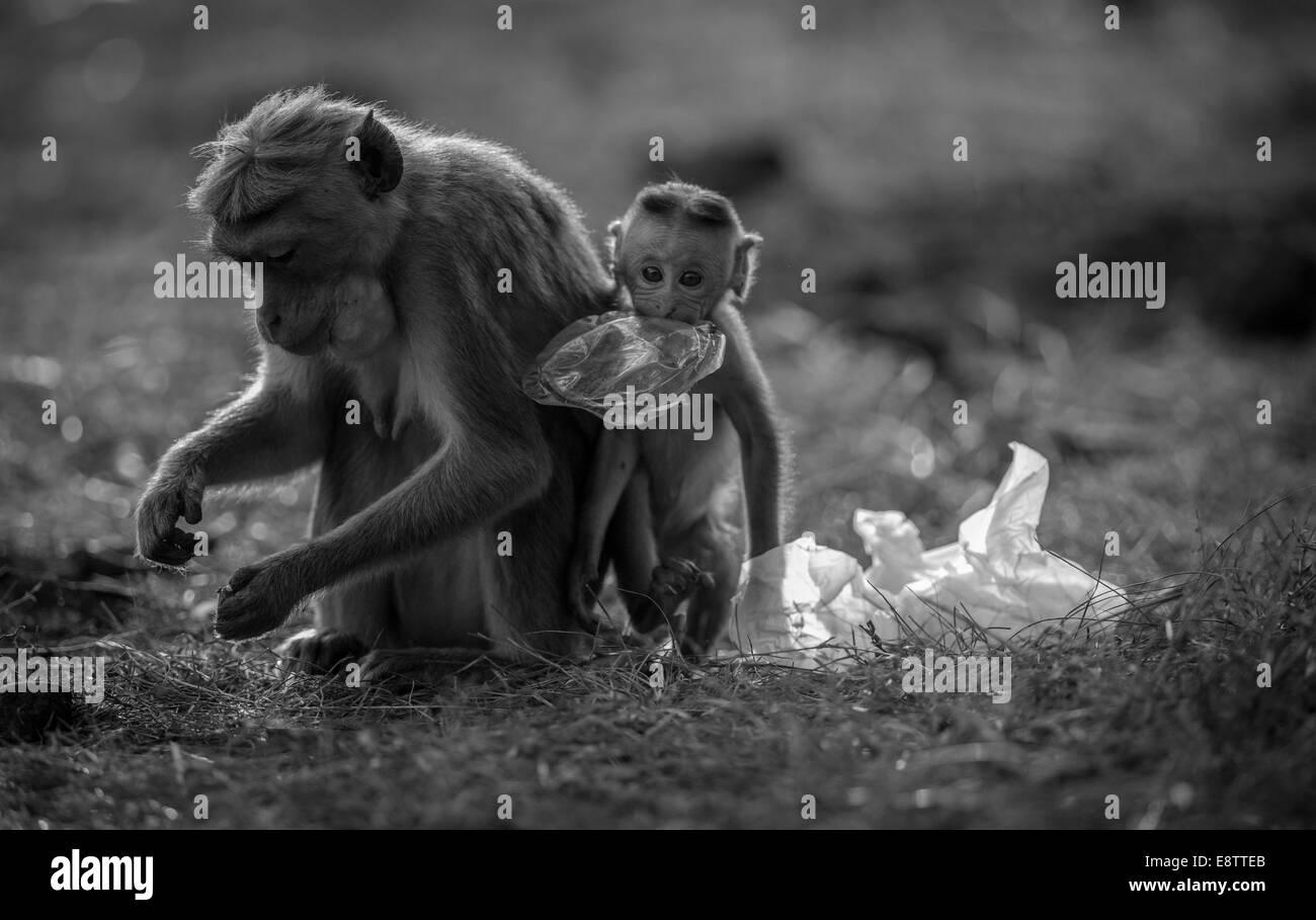 monkey eating plastic - Stock Image