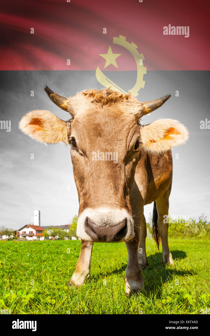 Cow with flag on background series - Angola Stock Photo