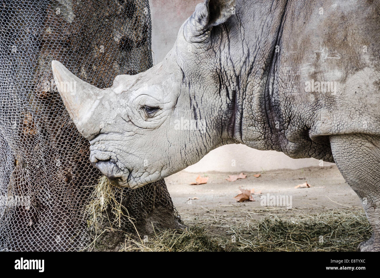 Rhino eating it's dinner of hay at Barcelona zoo. Detailed photograph of skin, face, horn and it's food. - Stock Image