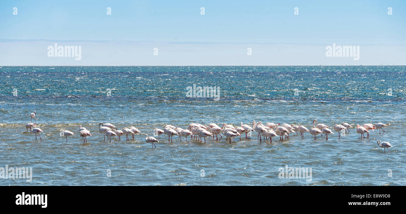 American Flamingoes (Phoenicopterus ruber), Lesser Flamingoes (Phoeniconaias minor) in Walvis Bay, Namibia Stock Photo