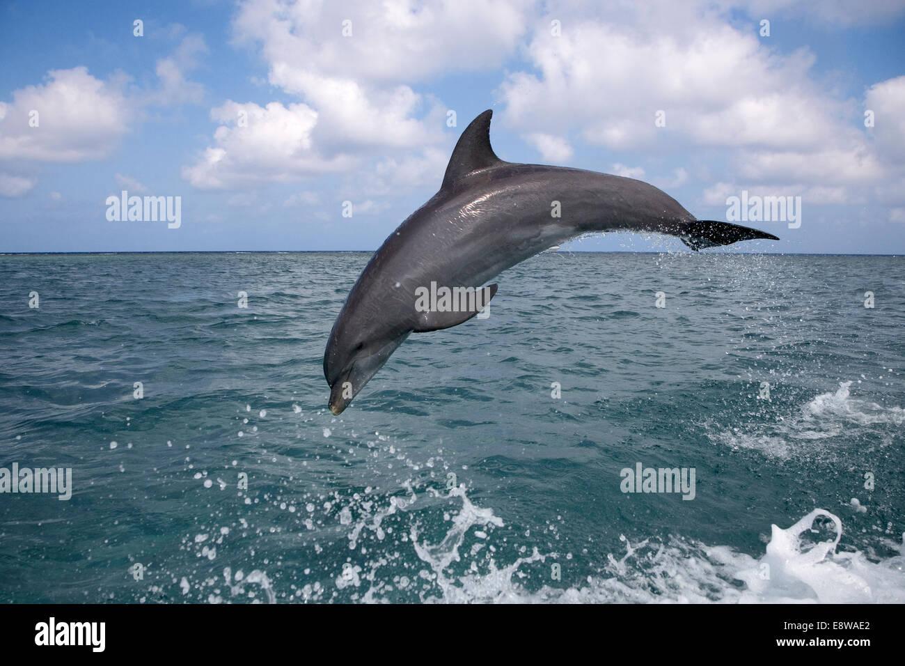 Bottle-nosed Dolphin - Tursiops truncatus - Stock Image