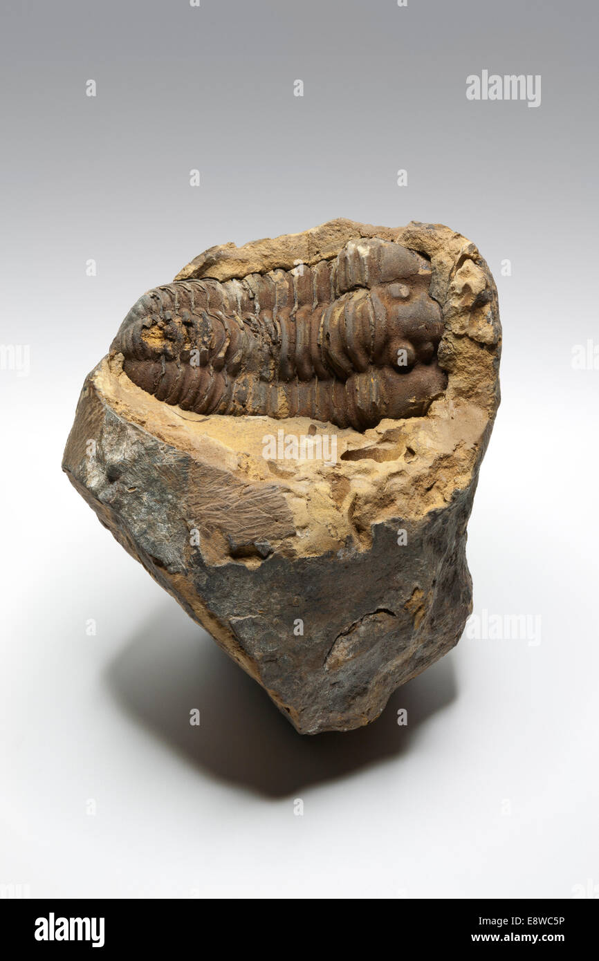 Single Trilobite fossil from Morocco against a plain light grey background - Stock Image