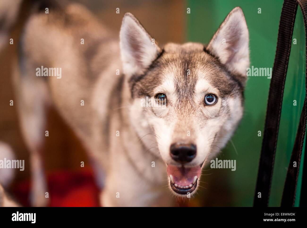 A Siberian Husky is seen waiting in its pens whilst it waits to compete during the first day of Crufts at the NEC - Stock Image