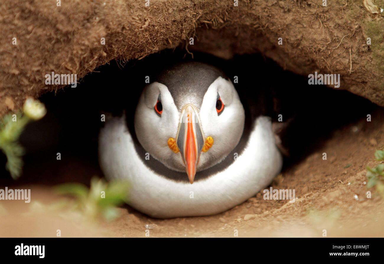 A puffin seabirds seabird - Stock Image