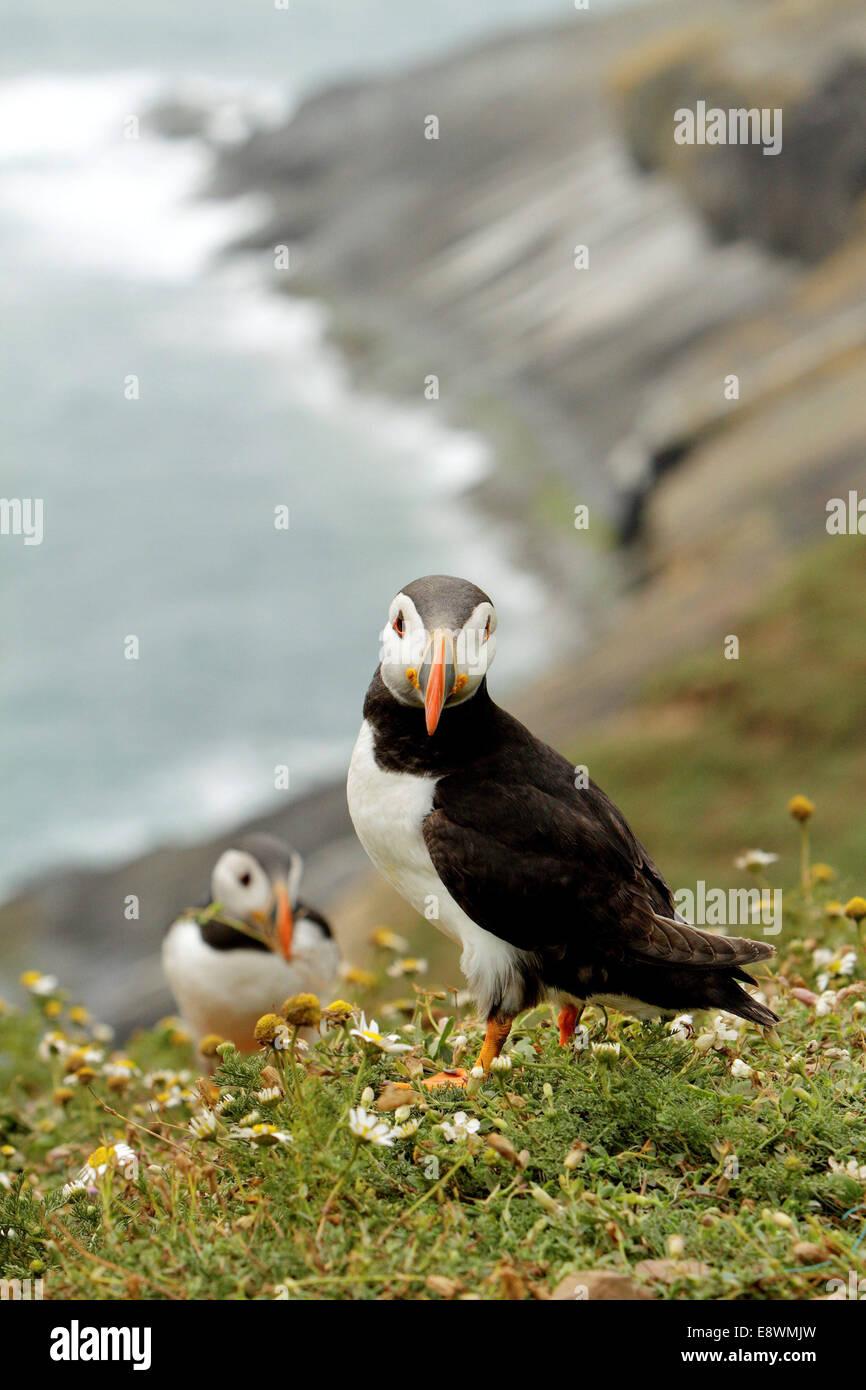 puffin puffins birds seabirds seabird - Stock Image
