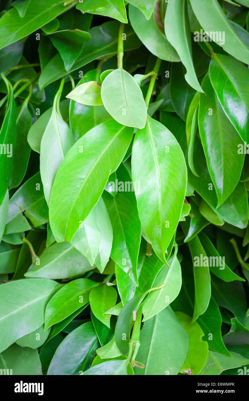 Fresh laurel bay leaves, Laurus nobilis - Stock Image