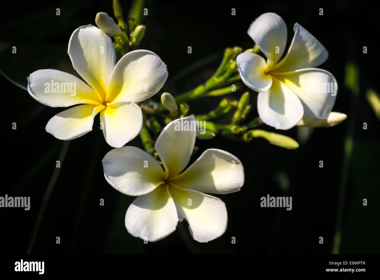 Three White Plumeria Tree Flowers Closeup Hawaii Black Background