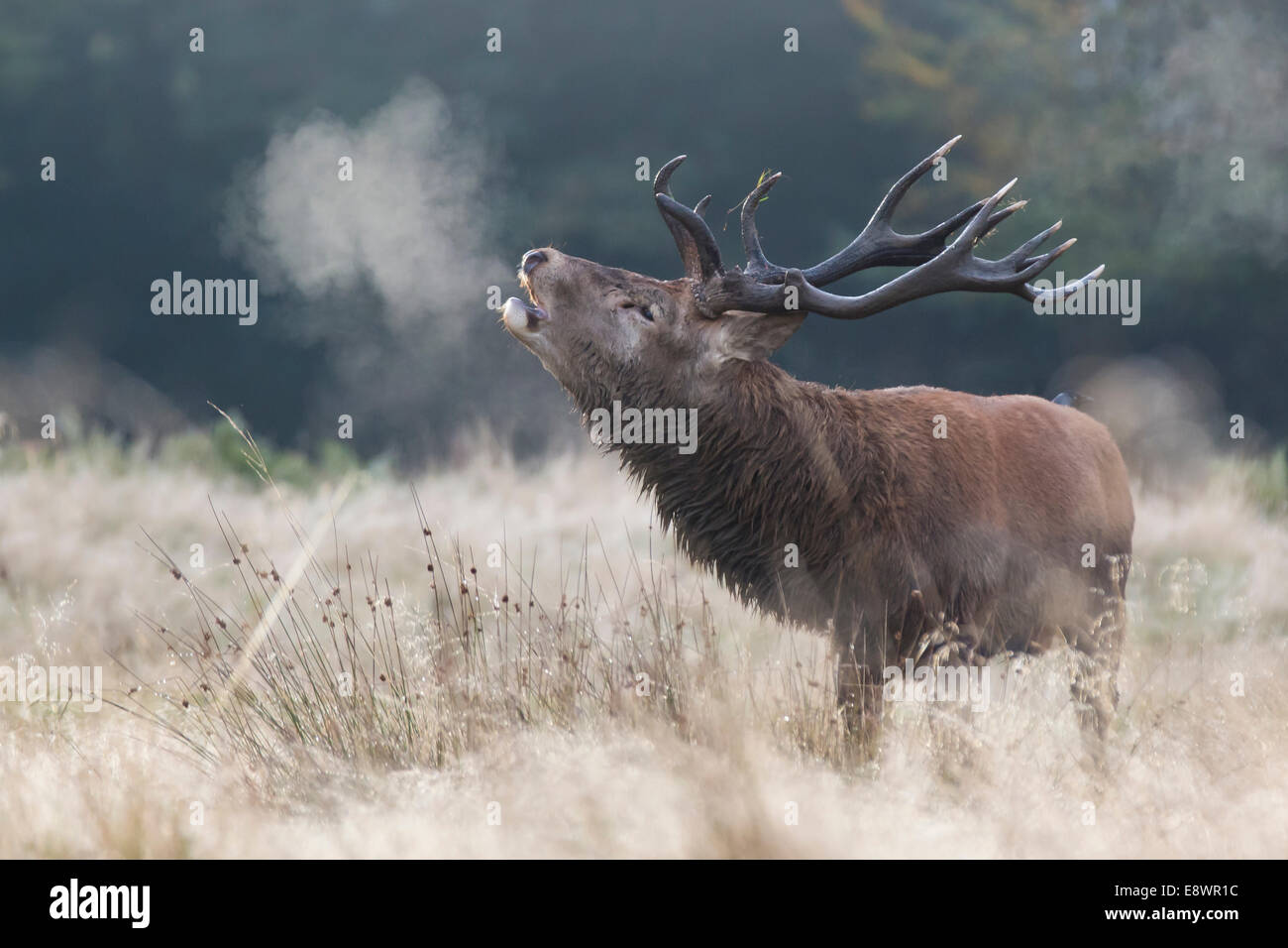 Red Stag Barking In The Early Morning Autumn Mist