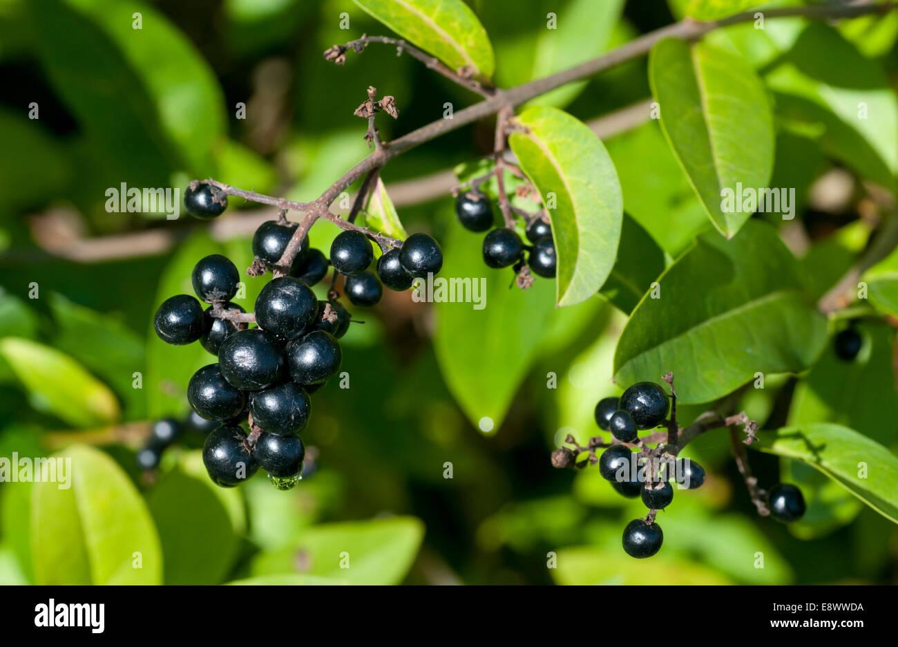 Black berries of Wild Privet Stock Photo