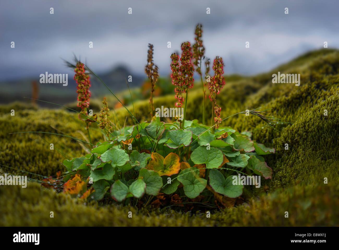 Mountain Sorrel- wildflowers in the Berserkjahraun lava field, Iceland - Stock Image